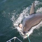 Como é que é mergulhar com Tubarões Brancos?!