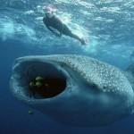 Oslob- Filipinas- E daquela vez que estive roadeado por 7 tubarões baleia?